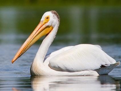 pelican_lee.jpg.0b74247cc77d6dd075c7172e90dd070f.jpg