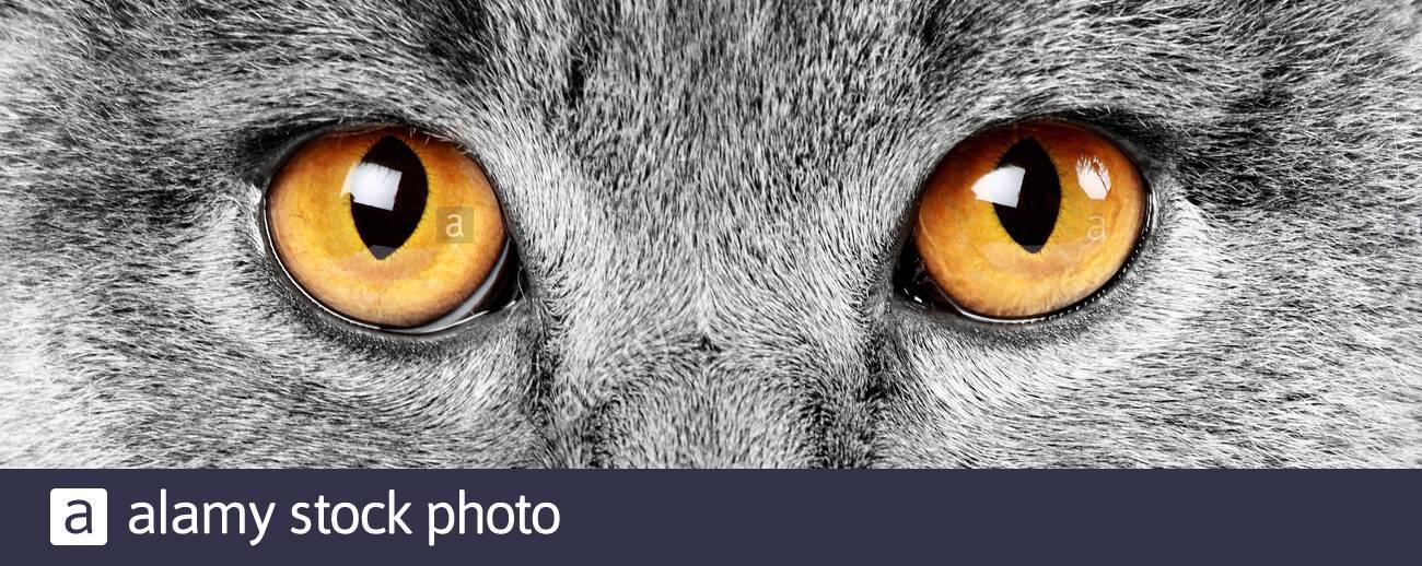 gatto-grigio-con-occhi-arancioni-2b7et9f.jpg